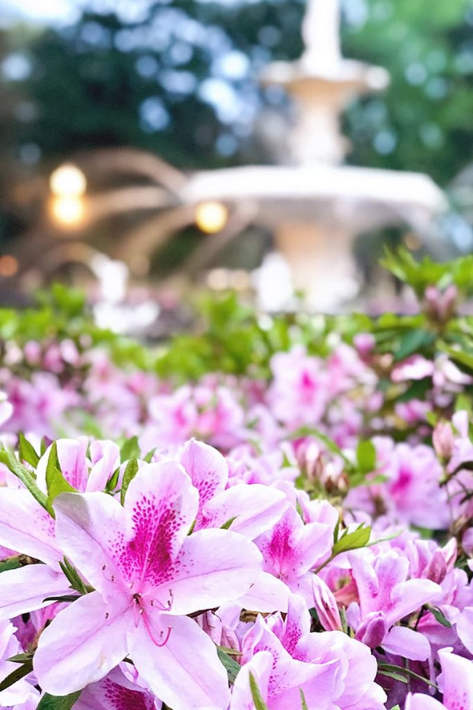 The best time to visit Savannah GA is in spring if you want to see thousands of beautiful pink azaleas in front of Forsyth Fountain
