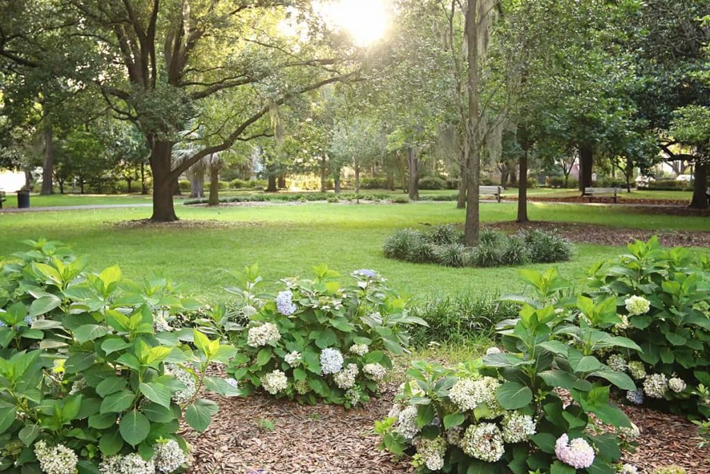 Forsyth Park in the summertime with hydrangeas in the foreground and lush green grass shaded by Southern live oaks in the background