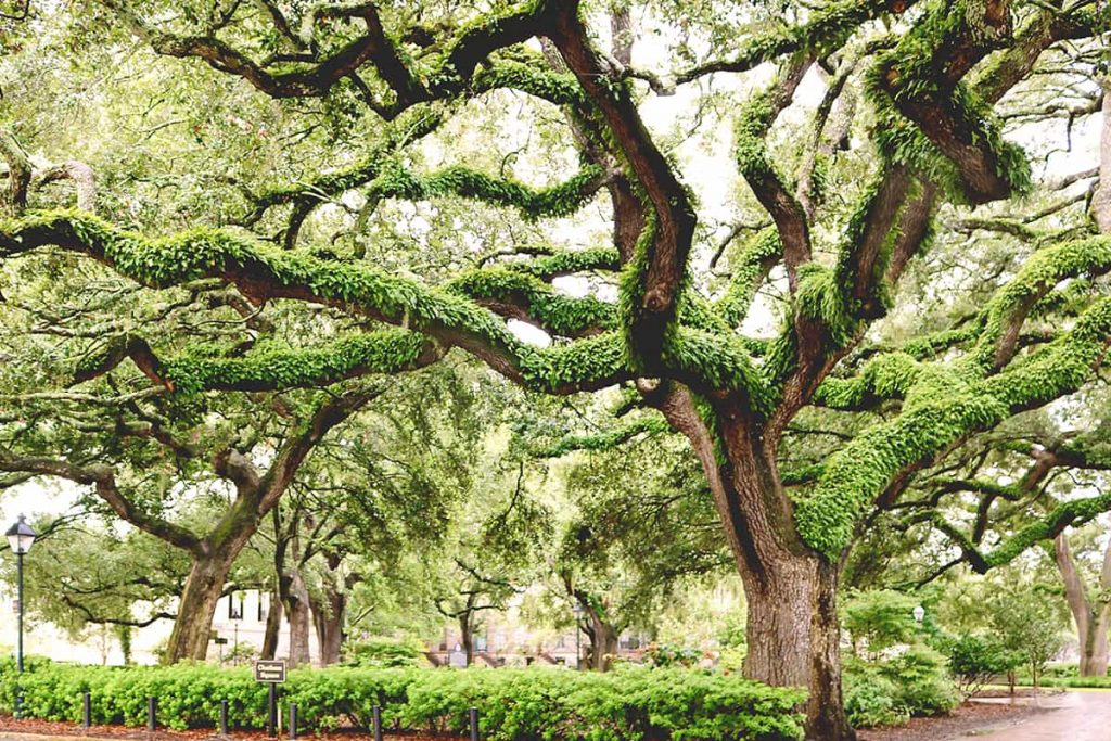 A lush square in Savannah Georgia just after a fresh rainfall with mossy green resurrection fern covering the branches of numerous mature Southern live oaks
