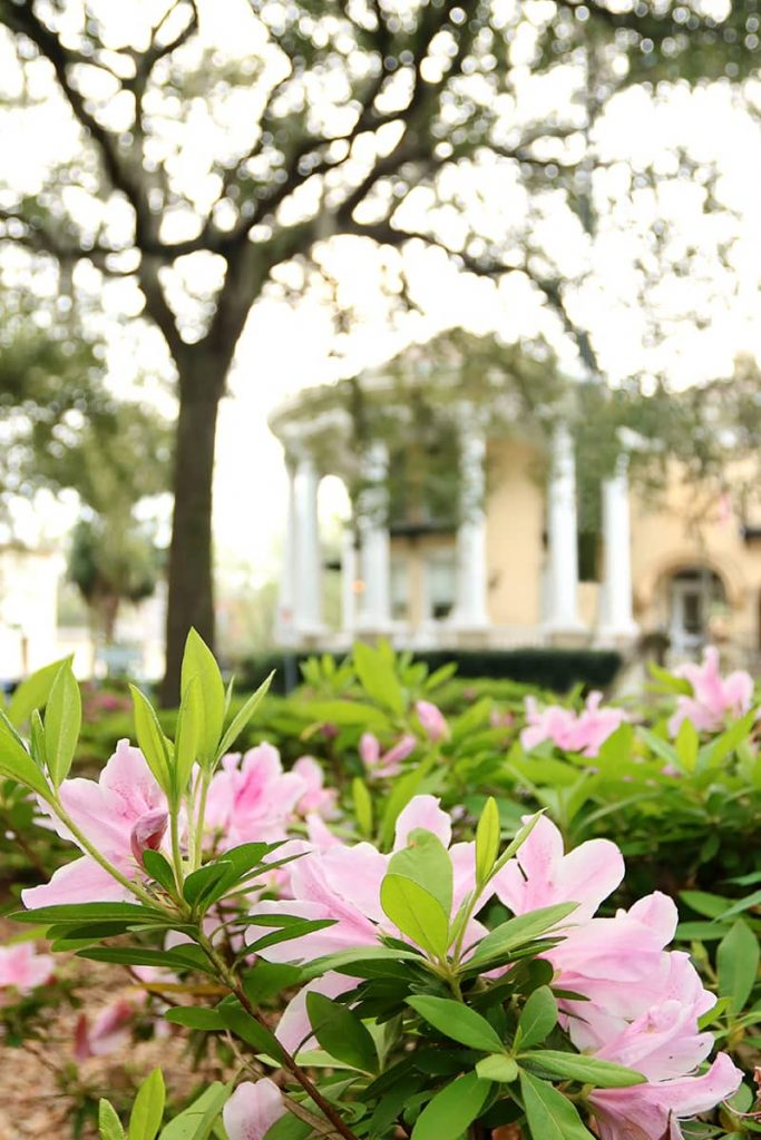 Pink azaleas in the foreground and a yellow mansion with a white rotunda in the background in Savannah's Historic District