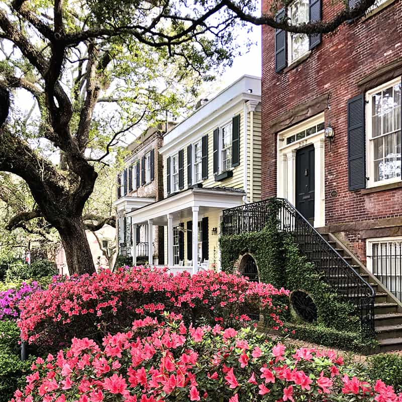 Row after row of colorful pink azaleas in front of stately homes on Jones Street in Savannah GA