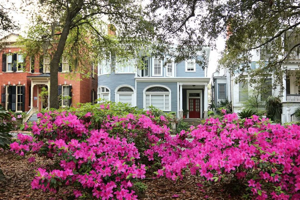 Rows of hot pink azaleas in Forsyth Park with stately homes in the background