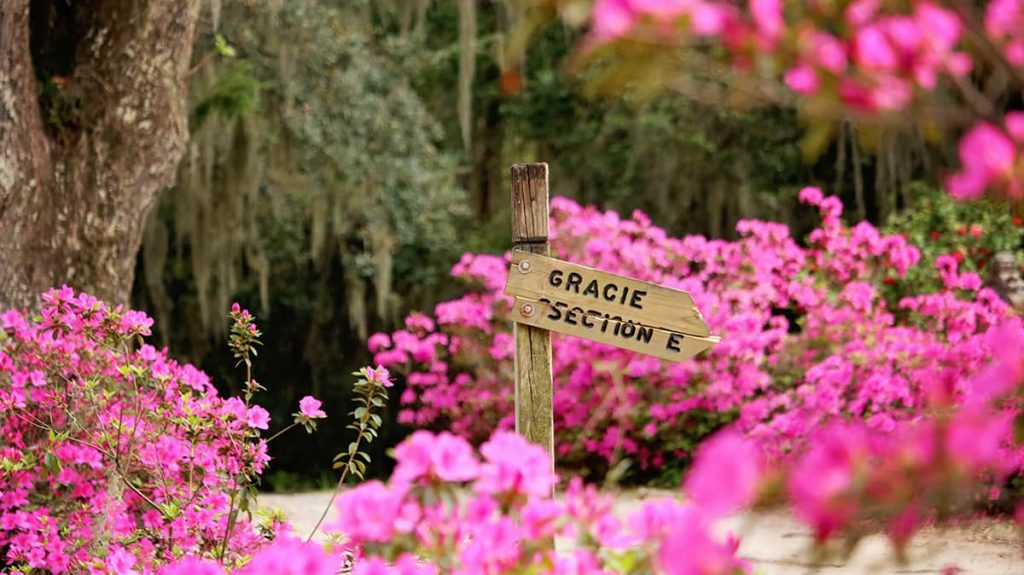 Peering through a sea of hot pink azaleas towards a Gracie Section E wooden sign