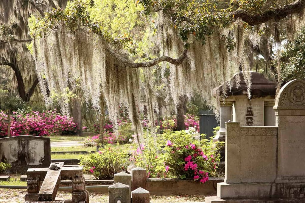 A low-hanging branch at Bonaventure Cemetery covered in Spanish moss illuminated by the sunlight
