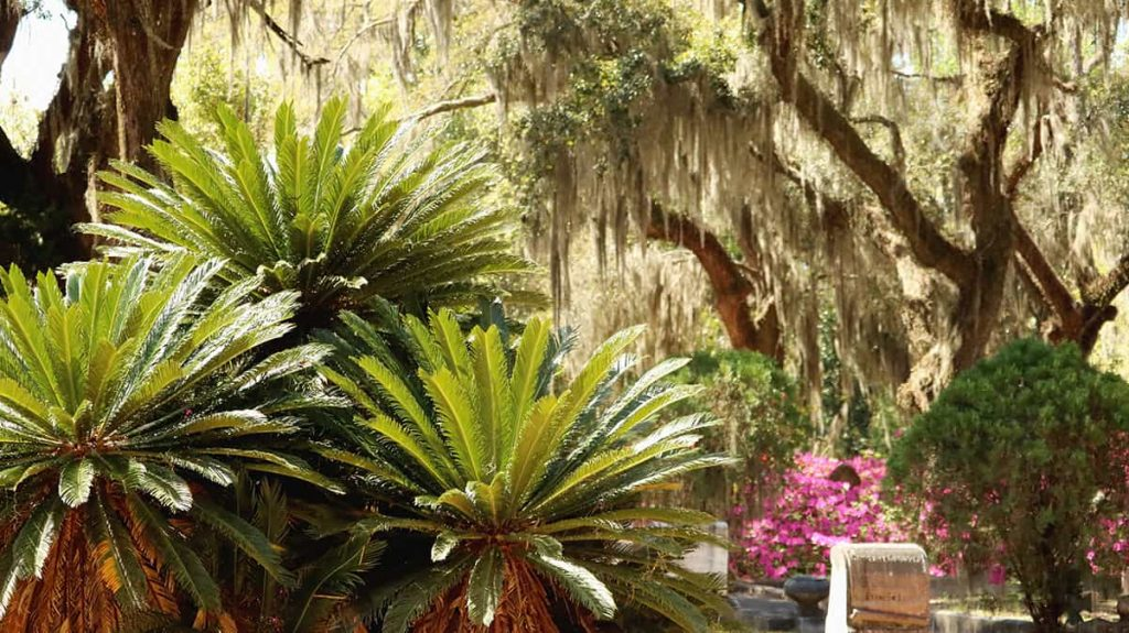 Giant sago palms and a backdrop of live oaks in Bonaventure Cemetery