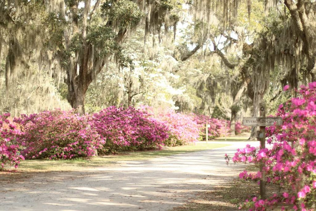 A dirt road surrounded by pink azaleas, white dogwoods, and oaks covered in Spanish Moss
