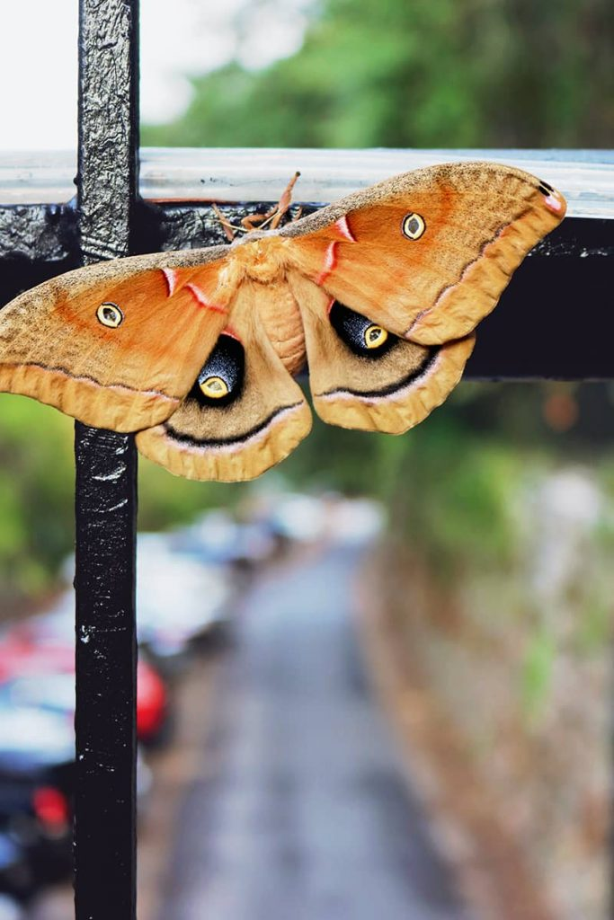 A brown and orange moth clings to the railing of a bridge over Factors Walk, it's wings with spots that mimic spooky yellow eyeballs