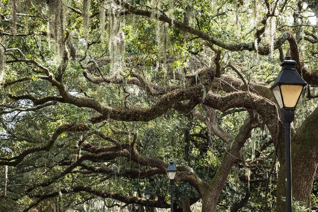 Long branches of Southern live oaks covered in Spanish moss shade the walks of Forsyth Park in Savannah's Historic District