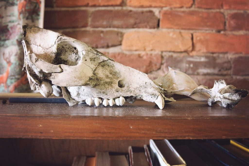 Remnants of animal skulls sitting atop a bookshelf with a brick wall in the background