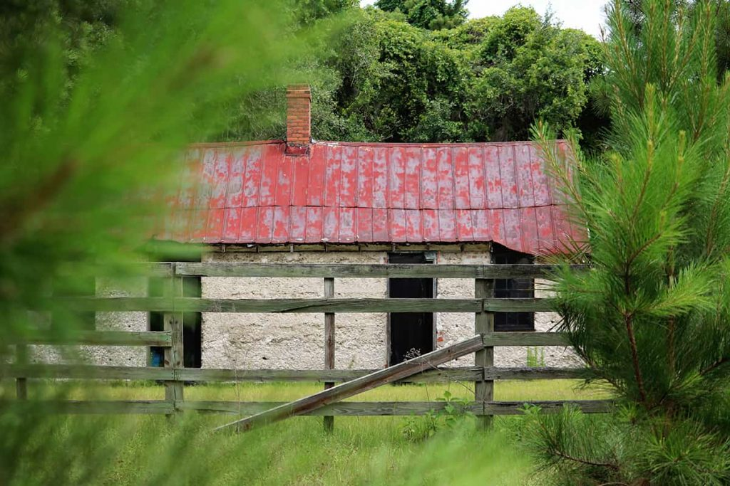 Peeking through bright green pine trees towards an abandoned slave cabin with a faded red roof on Ossabaw Island