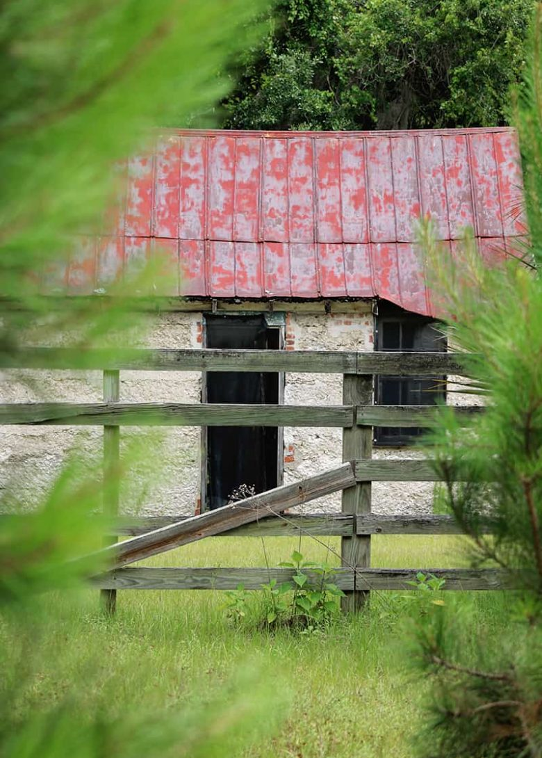 Peeking through pine trees towards an abandoned slave cabin with a red roof on Ossabaw Island