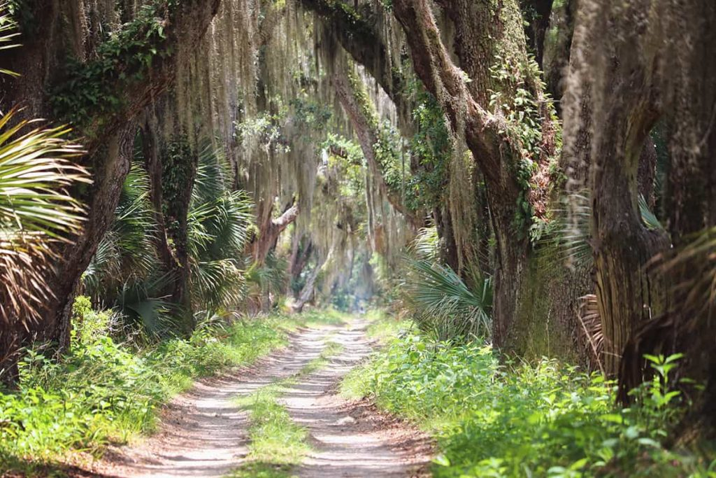 The main road to Ossabaw Island, heavily shaded by oaks dripping in Spanish moss.