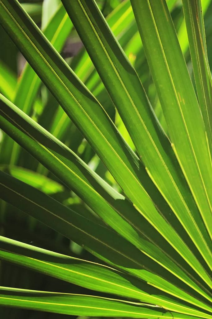 Close up of a sawtooth palm frond