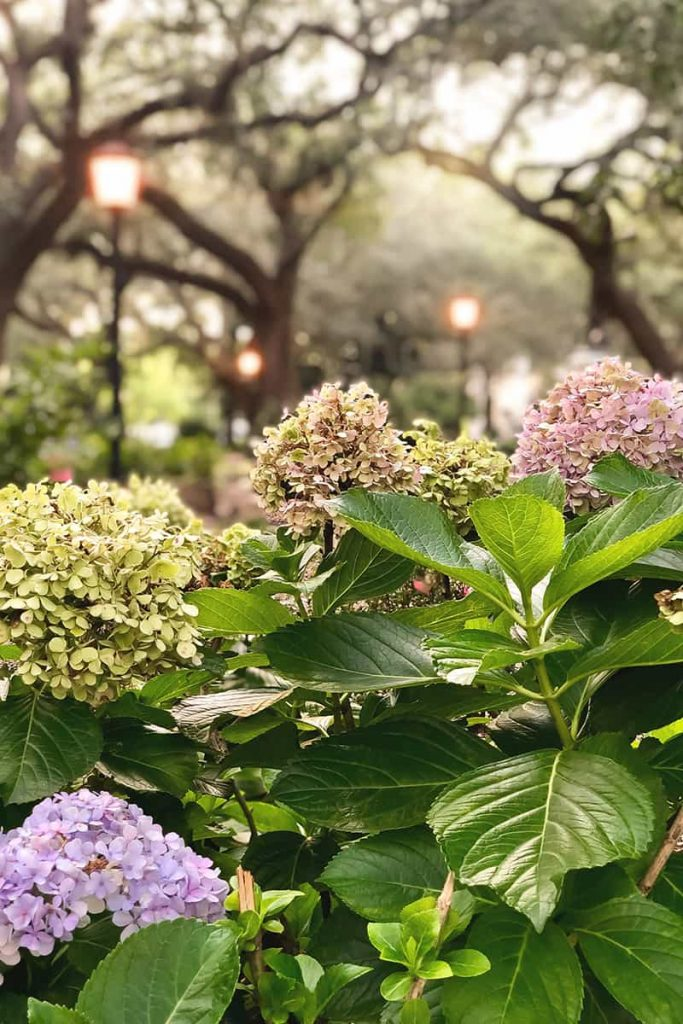 Purple, pink, and faded green hydrangeas glow in the warmth of the fading sunlight in Chippewa Square at dusk