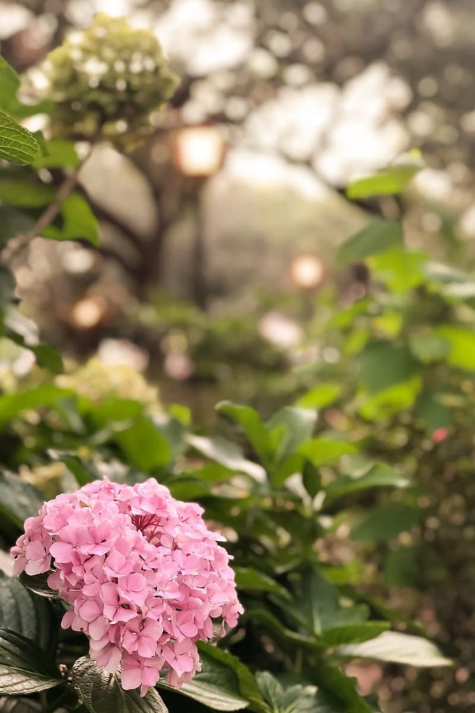 A lone pink hydrangea pops against a sea of green while lanterns illuminate Chippewa Square in Savannah's Historic District in the background