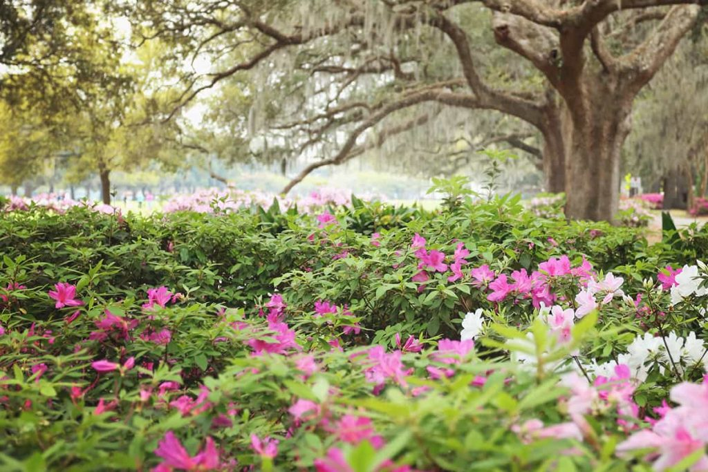 A sea of pink and white azaleas against a backdrop of oaks in Forsyth Park