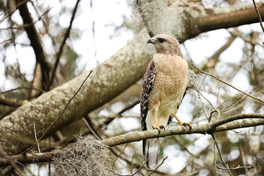 Red-shouldered hawk sits on a branch covered in Spanish moss in Forsyth Park